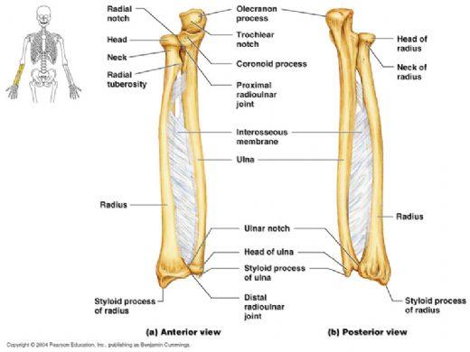 Kemiklerin sabit bağlantısı vardır ... Hareketsiz olan kemiklerin eklemleri nelerdir